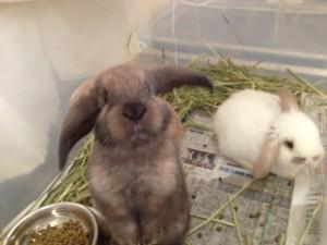 仔ウサギ  3羽
